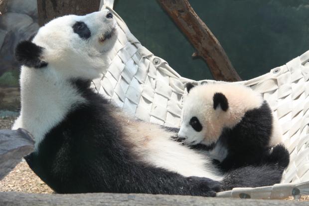 2011-06-09-Zoo-Atlanta-Lun-Lun-Po-036