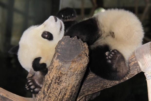 2011-11-06-Beijing-Zoo-Da-Bai-Tu-Xiao-Bai-Tu-002