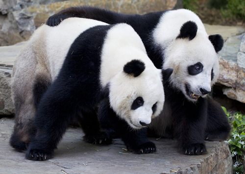 Giant_Panda_intros_04