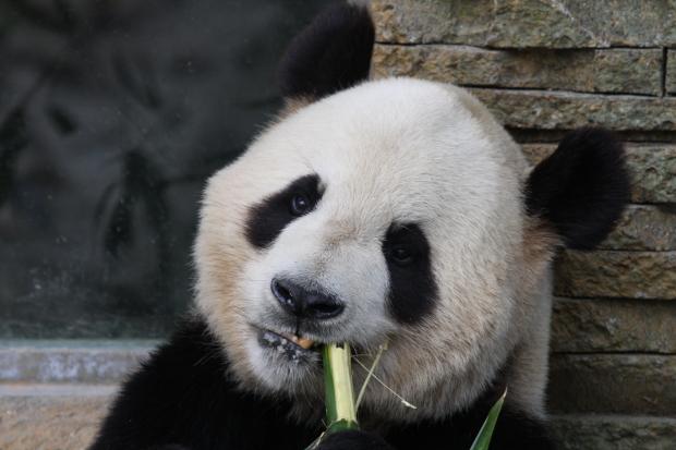 2008-05-09-Zoo-Madrid-Bing-Xing-014