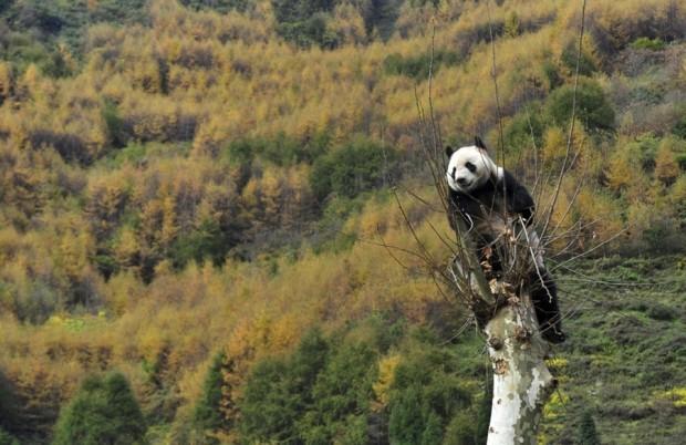 pb-121030-panda-da.photoblog900-620x402-2