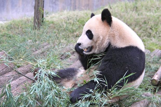 2011-11-07-Changsha-Ecological-Zoo-Bei-Bei-Da-Mao-044-620x413