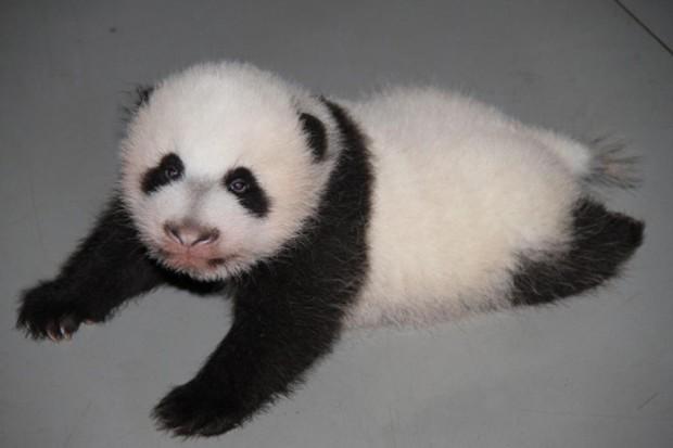 Panda-Abre-los-ojos-Zoo-Madrid-620x413