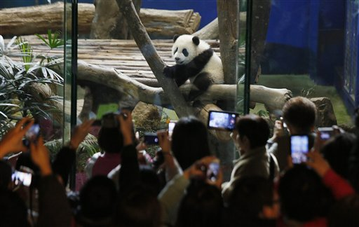 Crowds of visitors eagerly try to capture images of Taiwan's six-month-old panda cub Yuan Zai during her first public viewing at the Taipei Zoo in Taipei, Taiwan, Monday, Jan. 6, 2014. The panda cub, whose parents were gifts from China to Taiwan in 2008, was unveiled to her adoring public Monday, as long lines of boys and girls and children of all ages queued up at the Taipei zoo to see the cub cavorting around her enclosure. (AP Photo/Wally Santana)