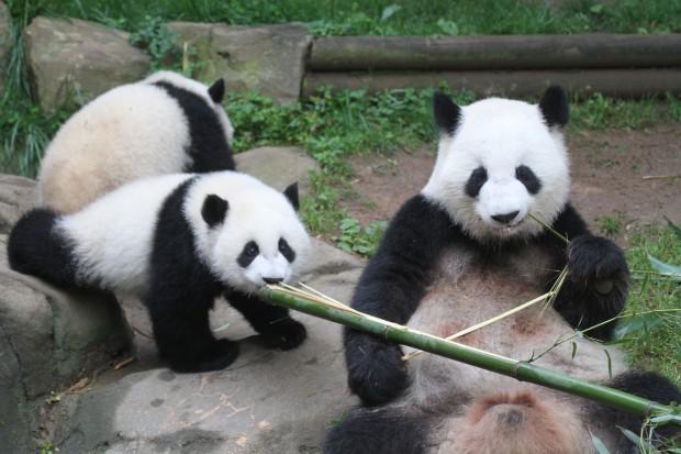 2014-05-19-Zoo-Atlanta-Lun-Lun-Mei-Lun-Mei-Huan-011-620x413