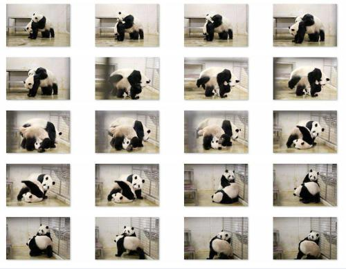 panda-mating-sequence