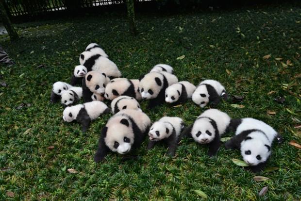 panda-620x414